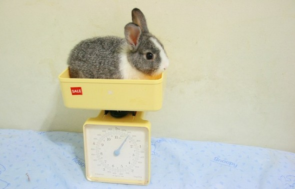 bunny rabbit on scale